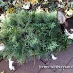 chia plant chihuahua