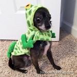 chihuahua frog