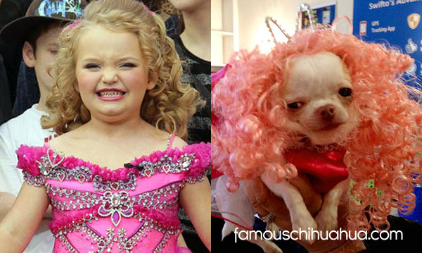 chihuahua honey boo boo