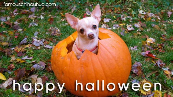 chihuahua in pumpkin