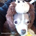 chihuahua monkey!