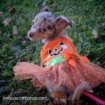 chihuahua pumpkin dress