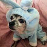 chihuahua rabbit