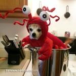 chihuahua lobster