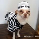 convict chihuahua