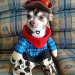 chihuahua cowboy!