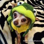 chihauhua frog