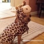 chihuahua giraffe