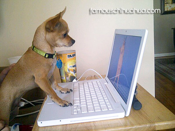 chihuahua on computer