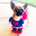 chihuahua superman