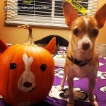 chihuahua and pumpkin