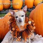 pumpkin chihuahua
