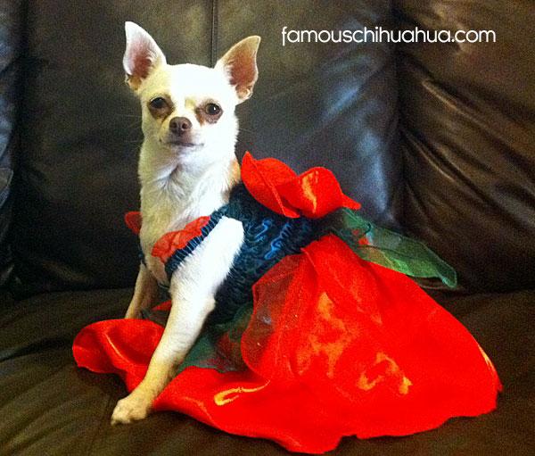 chihuahua in a dress