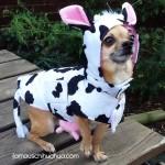 chihuahua cow
