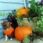 teacup chihuahua pumpkin