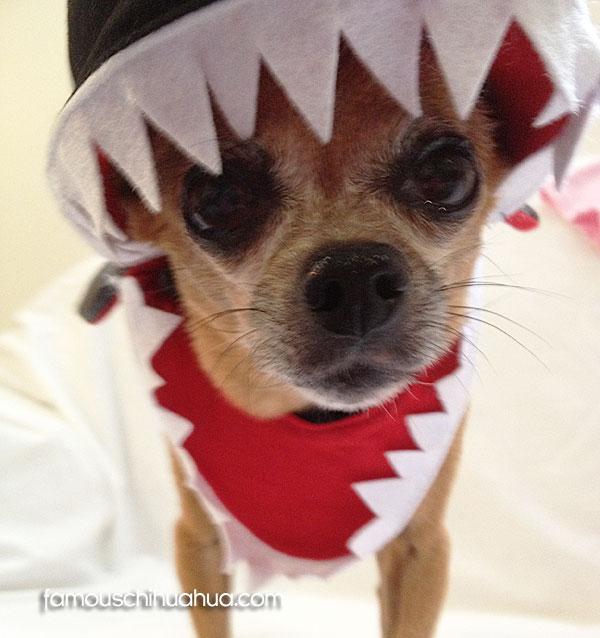 chihuahua shark