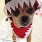 shark chihuahua