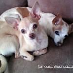 chihuahua buddies