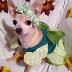 chihuahua fairy