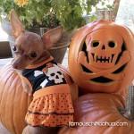cute halloween chihuahua