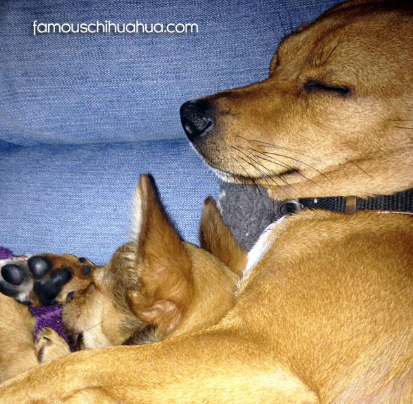 chihuahuas sleeping