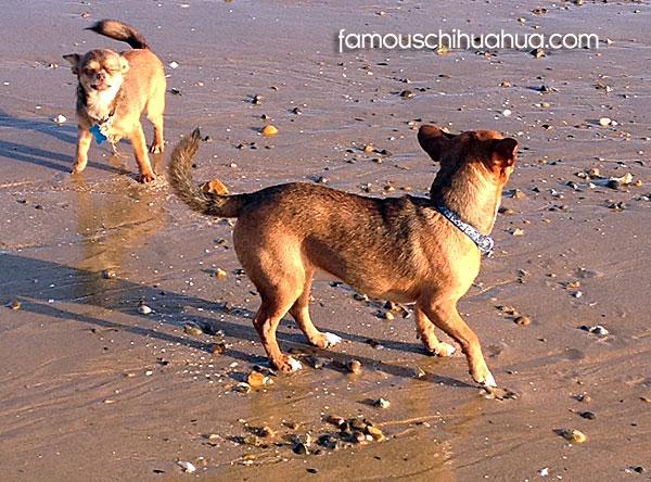 chihuahua at the beach
