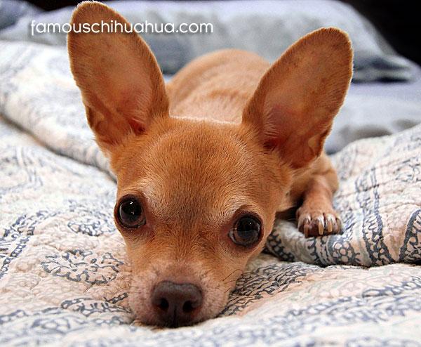 dear head tan chihuahua