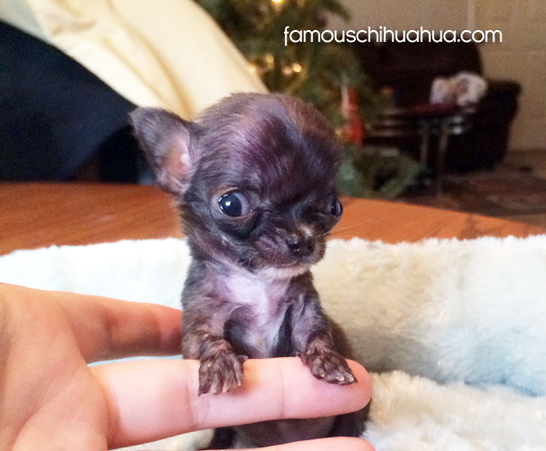 tiny teacup chihuahua puppy