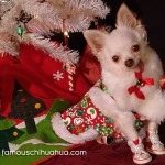 chihuahua in stocking