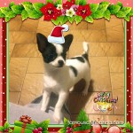 christmas chihuahua picture