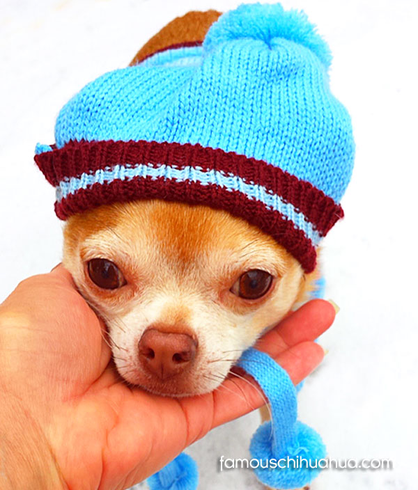 chihuahua in winter hat
