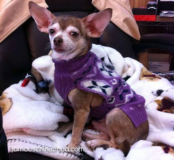 cute chihuahua in sweater