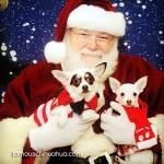 chihuahuas on santa's lap
