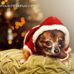 chihuahua in santa suit