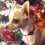 chihuahua in front of christms tree