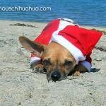 santa chihuahua on beach