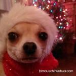 chihuahua in santa hat!