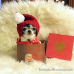 chihuahua in gift box