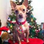 chihuahua wearing christmas tie