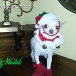 chihuahaua in christmas hat