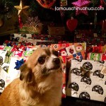 chihuahua under christmas tree