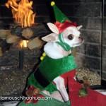 elf chihuahua