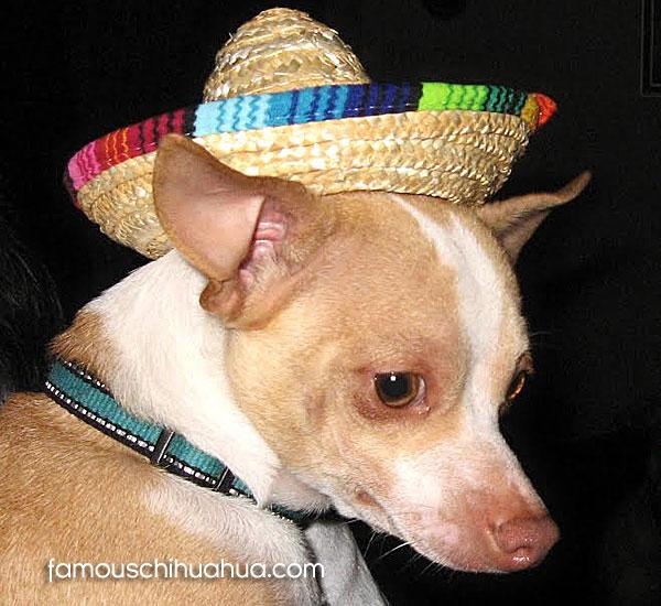 chihuahua in sombrero