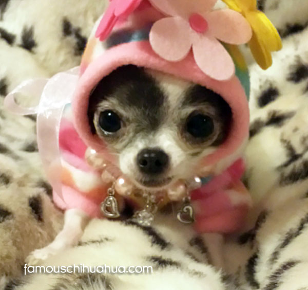 cute teacup chihuahua