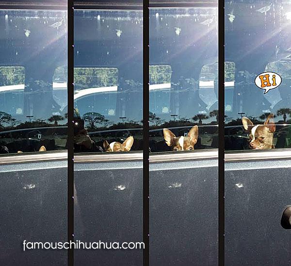 chihuahua hiding