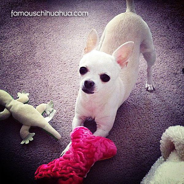 white short-haired chihuahua