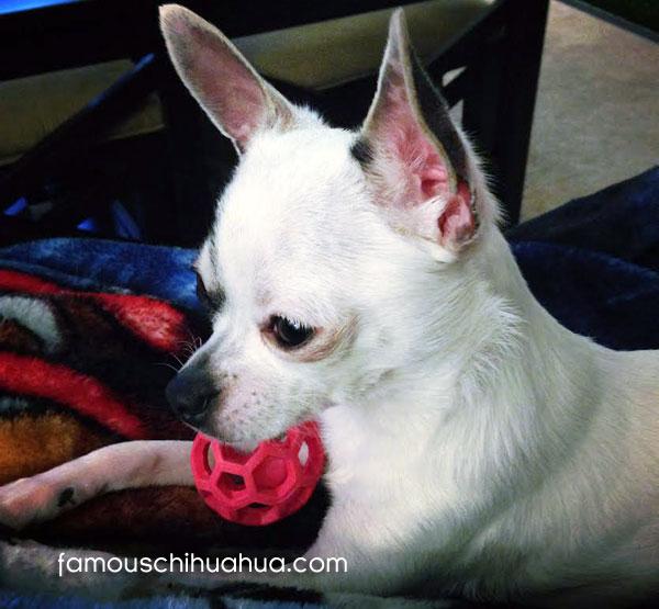 cute tcup chihuahua