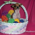 easter basket chihuahua