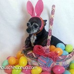 easter bunnny chihuahua