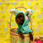 chihuahua bunny in basket